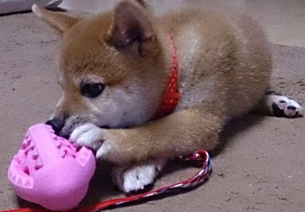 ボールを咥える子犬の柴犬