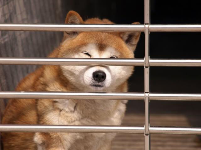 ジーッとこちらを見る柴犬