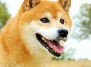 タヌキ顔の柴犬