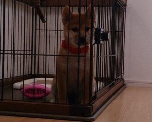 ケージに入った子犬の柴犬