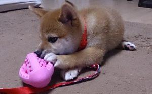 おもちゃを噛む柴犬
