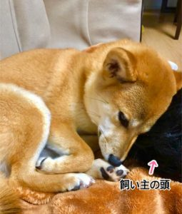 飼い主の頭にもたれて眠る柴犬