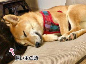 飼い主の頭に寄り添って眠る柴犬
