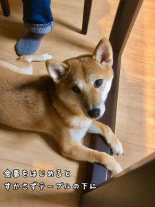 テーブルの下からこちらを見上げる柴犬