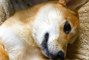 抱っこされて嬉しそうな柴犬