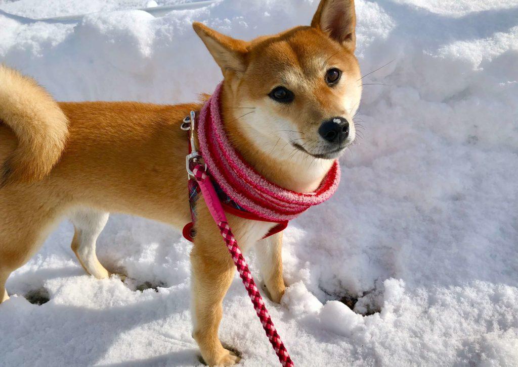 雪の中で笑う柴犬