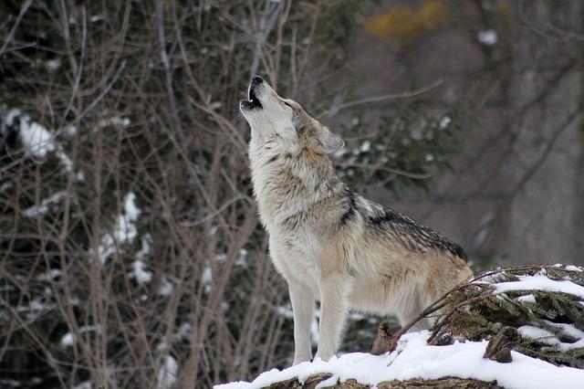 遠吠えするオオカミ