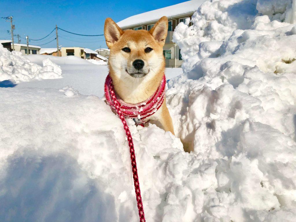 雪にうもれる柴犬