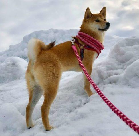 雪山の上の柴犬