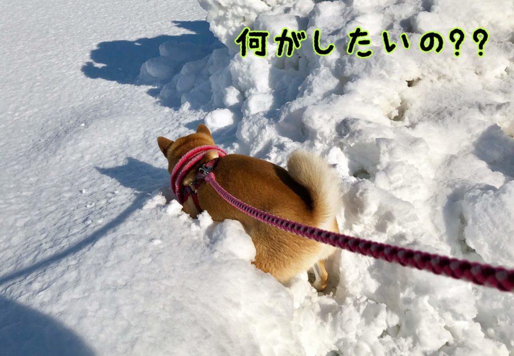 雪に顔をうずめる柴犬