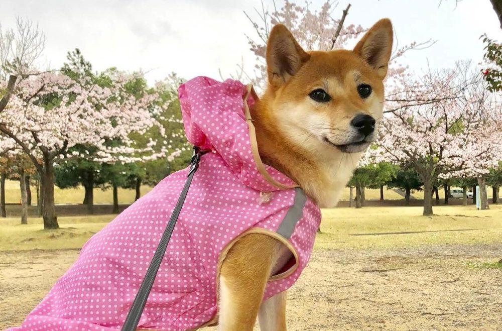 レインコートを着た柴犬