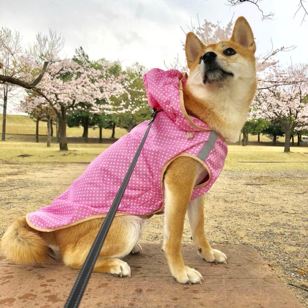 ポルカドットレインコートを着てオスワリしている柴犬