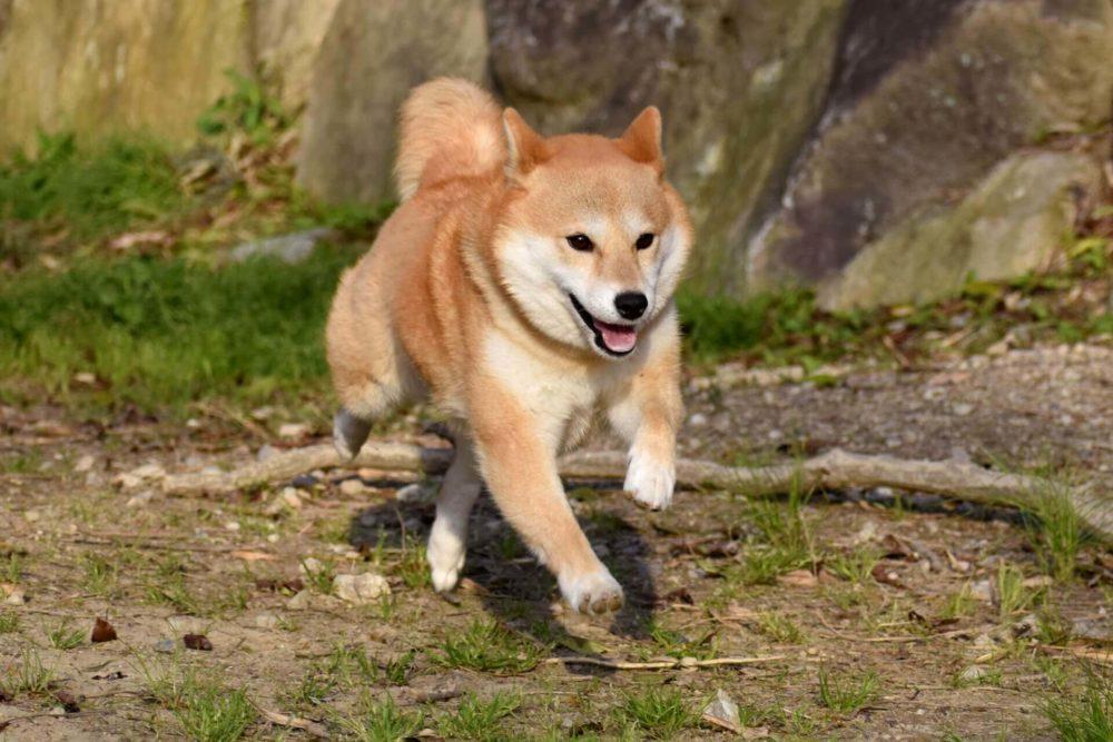 走り回るシニア犬