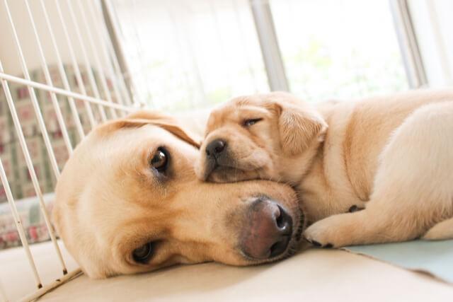 親犬に甘える子犬
