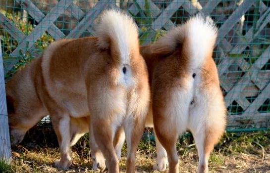 二匹の柴犬の尻尾