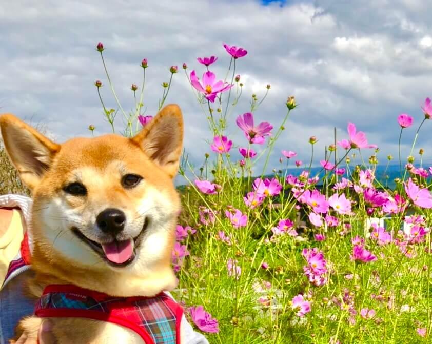 コスモス畑にいる柴犬