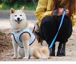 ASHUのウェアハーネスを付けた柴犬
