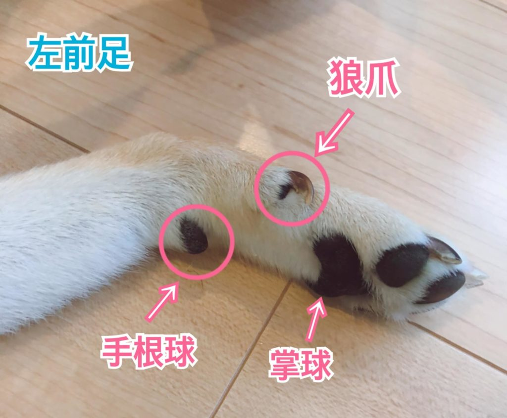 犬の前足の説明