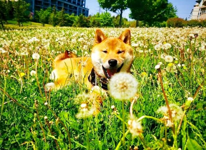 たんぽぽ畑で笑っている柴犬