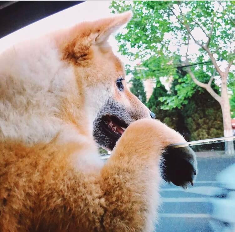 車窓から外を眺める柴犬