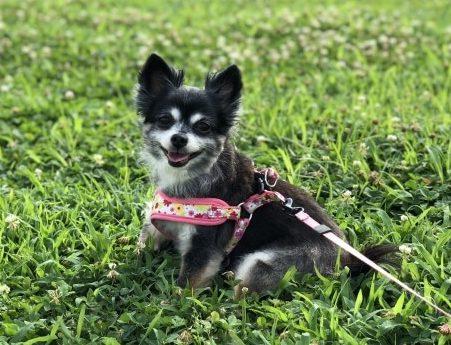 芝生で遊ぶチワワ