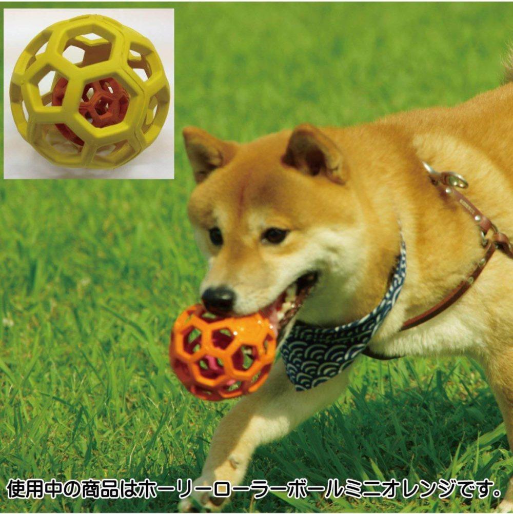 ホーリーローラーボールを咥える柴犬