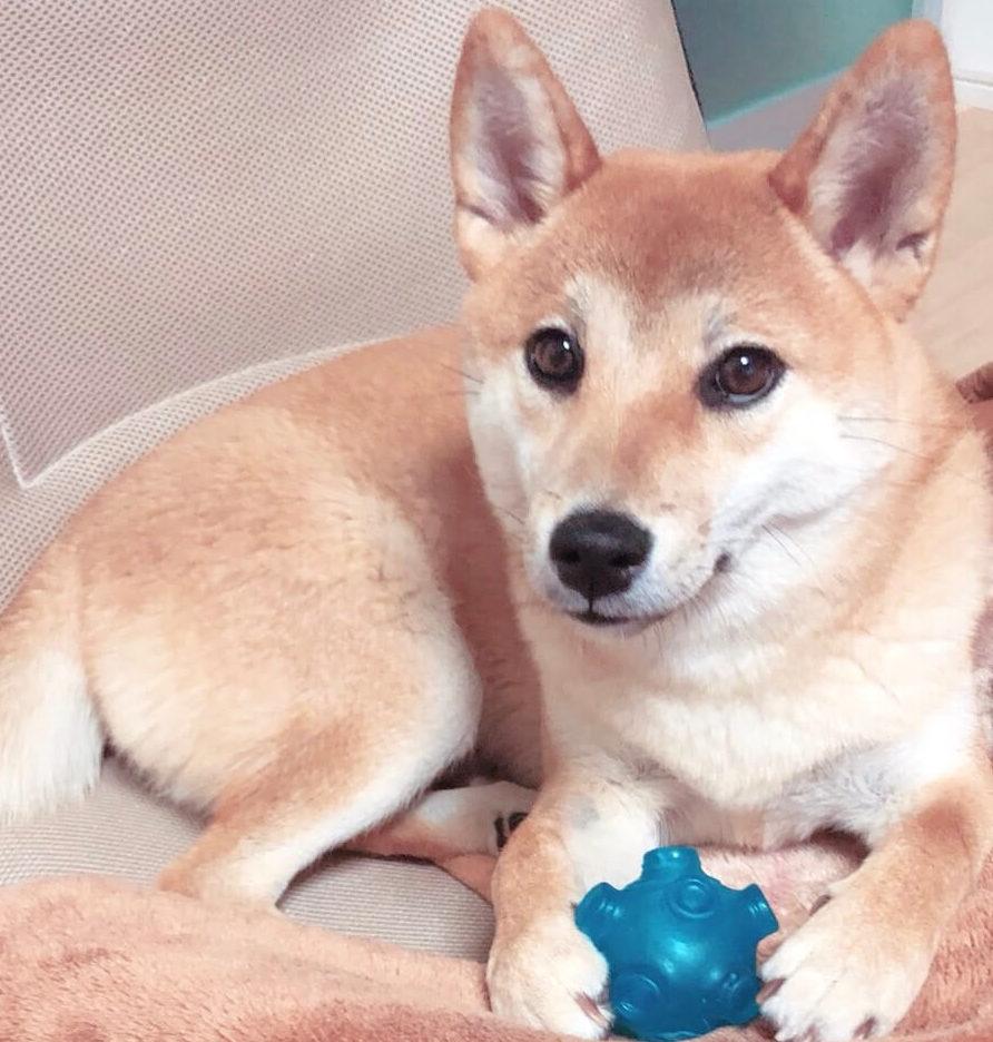 ボールを抱える柴犬