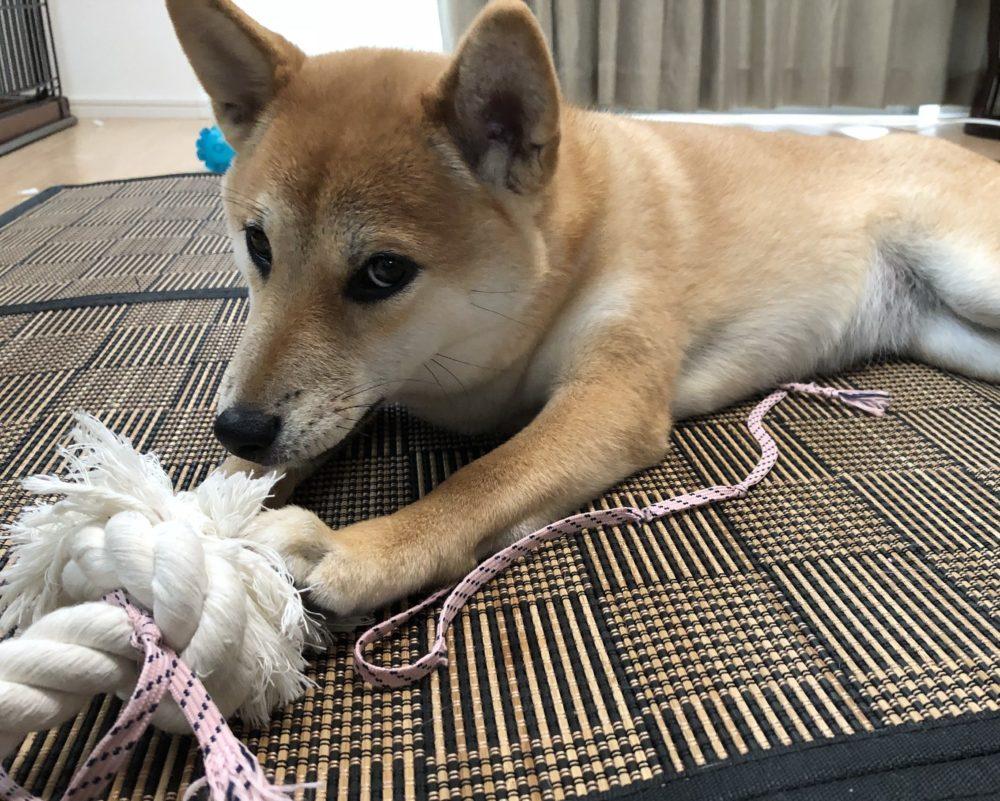 ロープを噛む柴犬