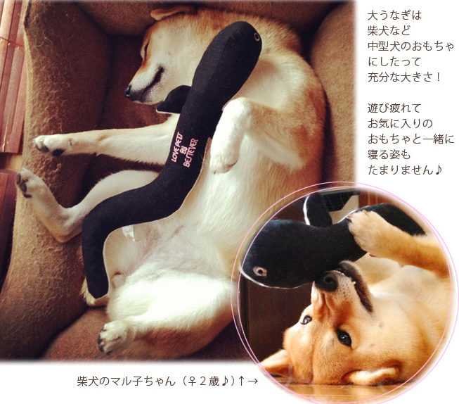 うなぎのおもちゃを抱っこする柴犬