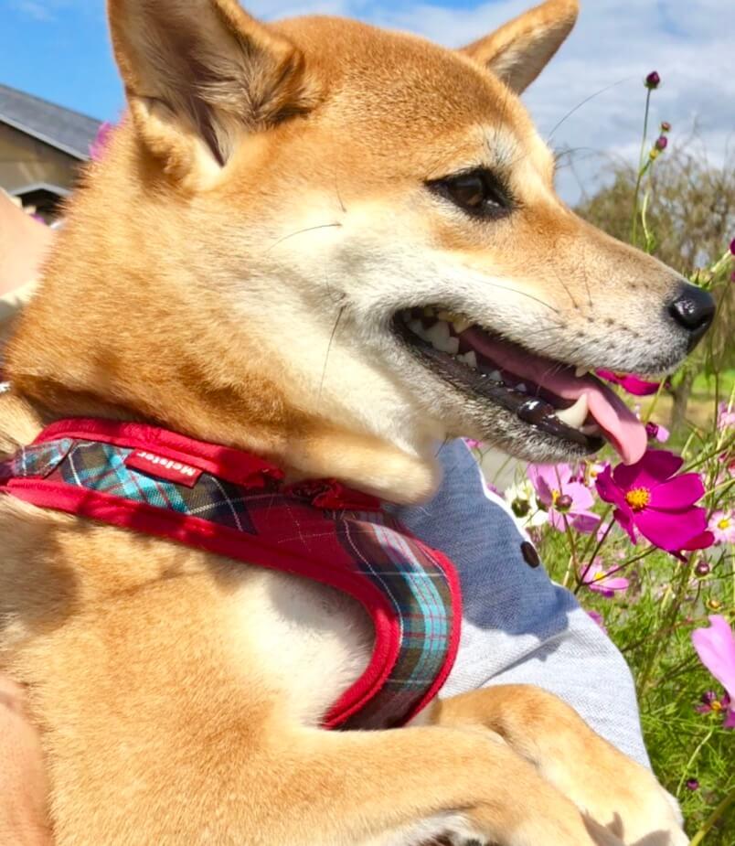 お花畑で笑う柴犬