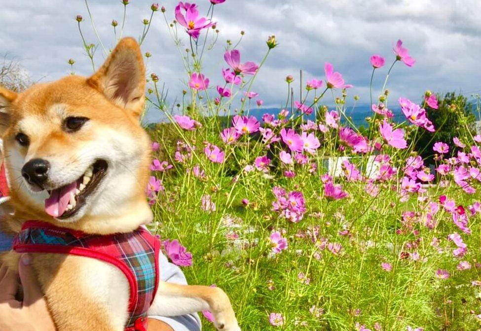 コスモス畑で笑う柴犬