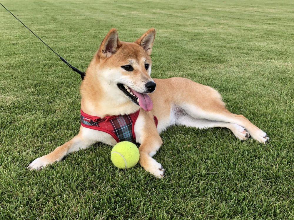芝生で休む柴犬
