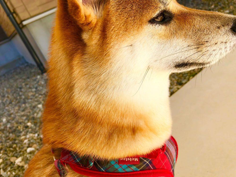 カナガンできれいな毛並みになった柴犬