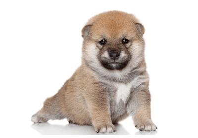 豆柴の子犬