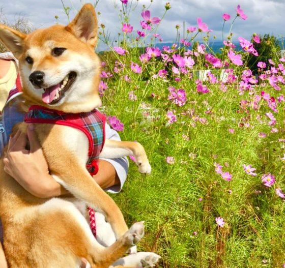 コスモス畑で写真をとる柴犬