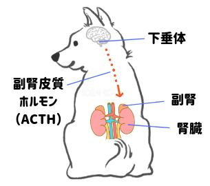 副腎皮質が働く仕組み